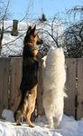 овчарка и пудель